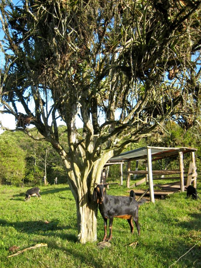 Una cabra chiquita