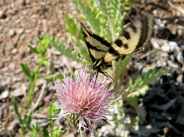 Near Ned's casita in Vallecitos, a beautiful butterfly hovered, pollinating this desert flower.