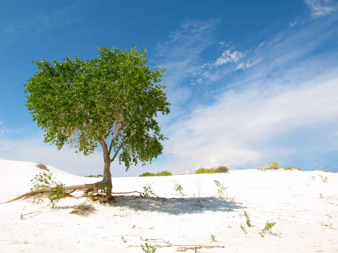 Cottonwoods have deep roots, tapping into the aquifer far below the sand dunes.