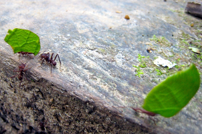 Leaf cutter ants in action