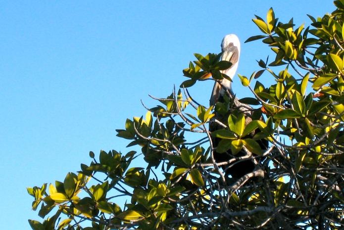 Pelican, perched