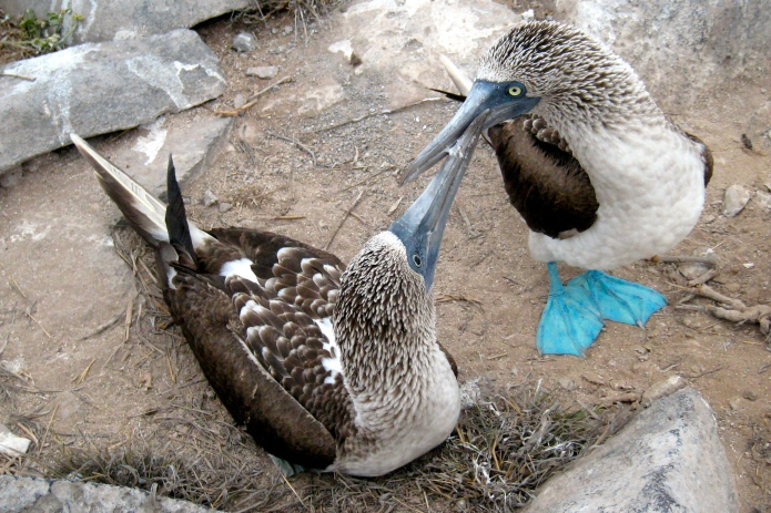 [Blue-footed boobies mate for life]