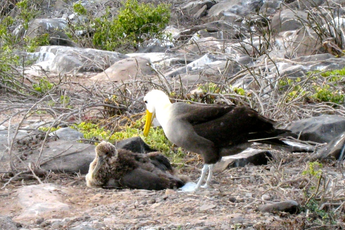 Fluffy Albatross baby