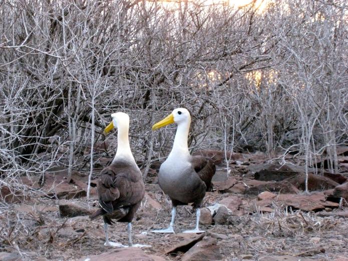 Albatross mating dance