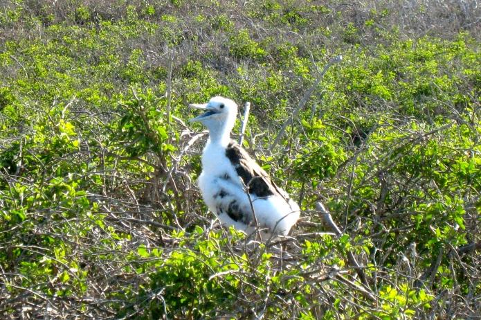 Albatross baby