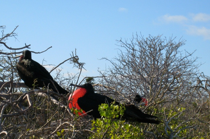 Frigget birds, puffing up their red, heart-shaped chests